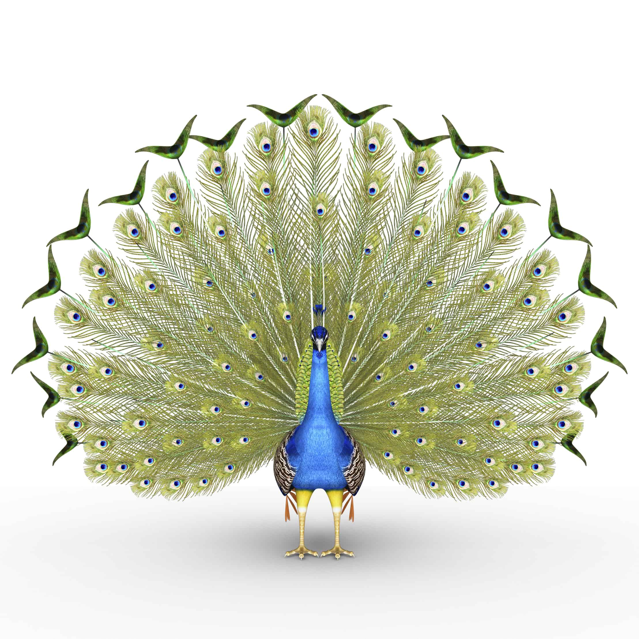 Peafowl include two Asiatic species and one African species of bird in the genus Pavo.